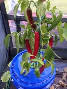 Kratky Bucket Garden Salsa Peppers
