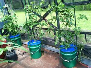 Kratky Bucket Tomatoes